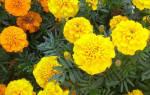 Растения, отпугивающие вредителей!