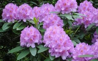 Рододендрон — красивая фантазия природы