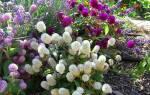 Гомфрена очаровательный сухоцвет для сада