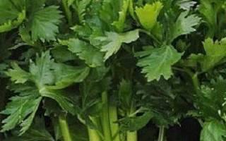 8 секретов выращивания корневого сельдерея.
