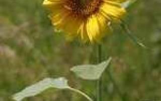Лечение подсолнечными семечкам