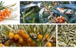 Полезные свойства облепиховых листьев