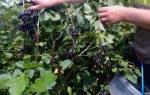 Способы повысить урожайность смородины