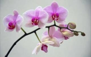 Почему не цветёт фаленопсис