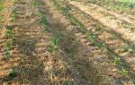 Не мешайте картошке расти! Посадка и выращивание по Картелеву.