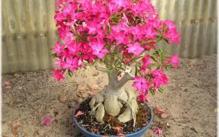 Адениум или чарующая пустынная роза.