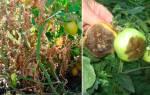 Народные методы борьбы с фитофторозом помидор