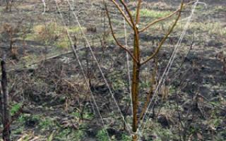 Формирование плодовых деревьев гнутьем без обрезки.