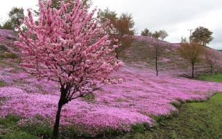 Буйство красок травяной сакуры