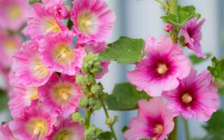Замшевая шток-роза королева цветников.