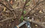 Как сохранить старые кусты смородины