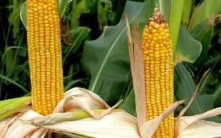 6 самых вкусных сортов кукурузы.