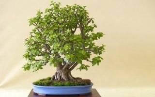 Денежное дерево. Как сформировать крону