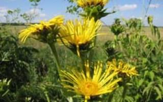 Девясил: выращивание на даче и лекарственные свойства
