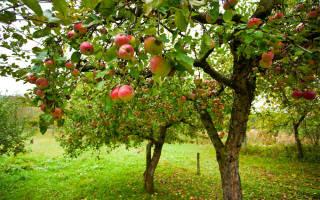 Что нужно знать про обрезку молодых яблонь.