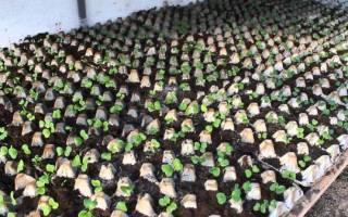 Редис в яичных кассетах — ранний урожай на зависть без прополки