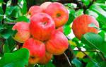Чем подкормить яблони весной чтобы получить хороший урожай осенью