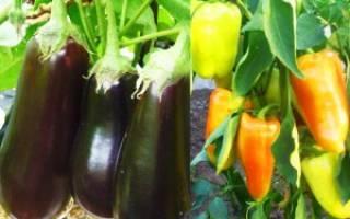 Перцы и баклажаны в одной теплице: как получить хороший урожай при совместном выращивании