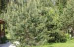 Сосна на участке — это настоящая зона леса в саду. Но, к сожалению, как все лесные культуры — сосну на даче не так и просто вырастить. Вот несколько советов: