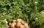 Картофель в контейнере – экономия места + эффект!