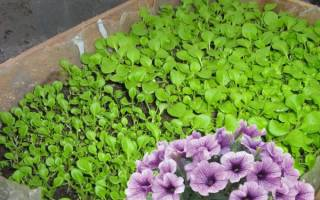 Как правильно выращивать петунию