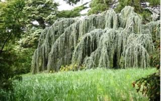 Лиственные растения с плакучей формой кроны.