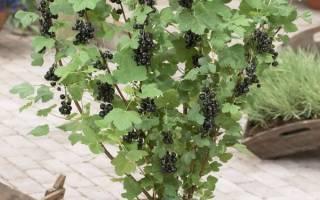 Обрезка смородины после плодоношения: важная процедура для богатых урожаев в будущем