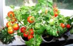 Это просто чудо помидорки, может кто-то уже выращивал такие…
