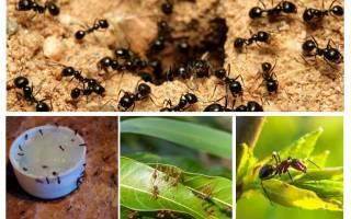 Какие цветы и травы могут отпугнуть муравьев и тлю