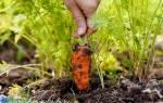 Эффективный способ посадки моркови