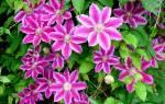 Клематис — удивительный цветок!