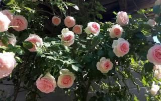Описание сорта роз Эден Розе.