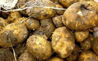 Из-за чего в погребе гниет картофель 6 самых опасных болезней.