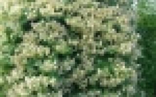 Сангвинария «Flore Pleno» (Multiplex) — многолетнее зимостойкое тенелюбивое растение, пока еще очень редкое в наших садах.