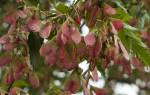 Клен татарский декоративное дерево-медонос.