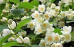 Чубушник — садовый «жасмин»
