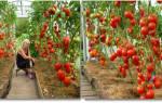 Чтоб томаты быстрее краснели .