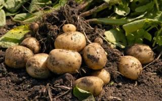 Как вырастить с одного куста — два ведра картофеля И сейчас я вам расскажу как это сделать.