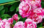 Лиатрис. Красота в вашем саду