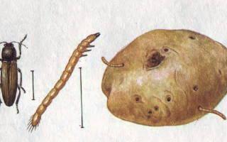Фасоль против проволочника, колорадского жука.