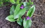 Роскоя имбирная орхидея
