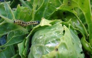 Избавляемся от гусениц на капусте без химикатов.