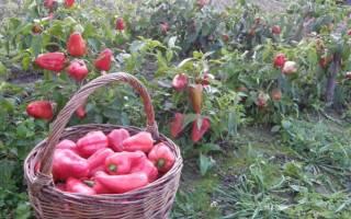Ленивая технология выращивания перца