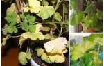 Вот почему у герани желтеют и сохнут листья