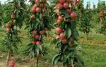 Колоновидная яблоня дает обильное цветение на второй-третий год, однако, долгожительницей ее назвать нельзя