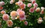 Описание розы Абрахам Дерби.