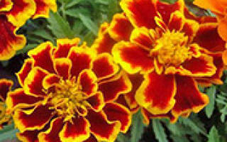 Бархатцы принадлежат к тем уникальным цветочным растениям, которые дарят радость пышного цветения и одновременно являются воинами, охраняющими многие другие растения от нашествия вредных насекомых, грибных болезней