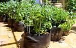 Как вырастить картошку в мешках