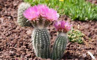 Как отличить эхиноцереус от других кактусов