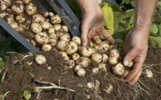 Картофель в контейнере экономия места + эффект!
